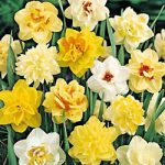 Mixed Double Daffodil – 10 bulbs