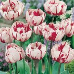 Carnival De Nice Double Late Tulip – 10 bulbs