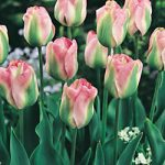 Greenland Viridiflora Tulip – 10 bulbs