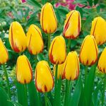 La Courtine Single Late Tulip – 10 bulbs