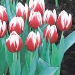 Leen Van der Mark Triumph Tulip – 10 bulbs