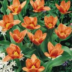 Fashion Kaufmanniana Tulip – 10 bulbs