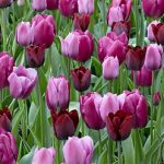 Mixed Mauve Darwin Hybrid Tulip – 10 bulbs