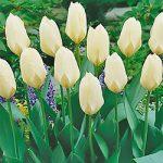 White Emperor Fosteriana Tulip – 10 bulbs