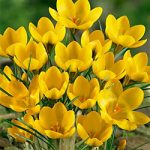 Goldilocks Species Crocus – 10 bulbs