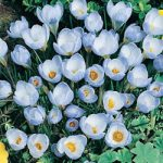 Blue Pearl Species Crocus – 10 bulbs