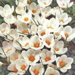 Ard Schenk Species Crocus – 10 bulbs