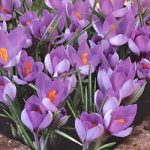 Whitewell Purple Species Crocus – 10 bulbs