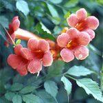 Flamenco Climbing Vine – 1 pre-started plant