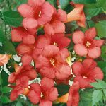 Campsis Radicans Climbing Vine – 1 pre-started plant