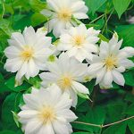 Duchess of Edinburgh Clematis – 1 pre-started plant