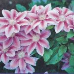 Dr. Ruppel Clematis – 1 pre-started plant