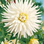 My Love Karma Dahlia – 3 root divisions