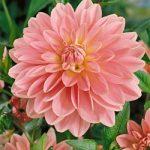 Gerrie Hoek Waterlily Dahlia – 3 root divisions
