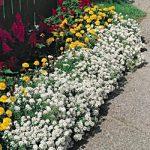 Sweet Alyssum – Lobularia maritima Bulk Seed – 1 pound