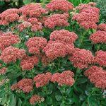 Autumn Joy Sedum – 10 root divisions