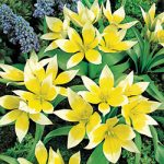 Tarda Species Tulip – 10 bulbs