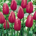 Renown Single Late Tulip – 10 bulbs