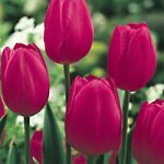 Grand Style Single Late Tulip – 10 bulbs