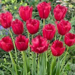 Burgundy Lace Fringed Tulip – 10 bulbs