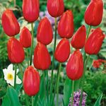 Avignon Single Late Tulip – 10 bulbs