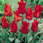 Red Riding Hood Greigii Tulip – 10 bulbs
