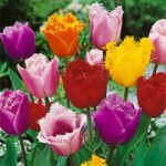 Mixed Fringed Tulip – 10 bulbs