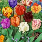 Mixed Parrot Tulips – 10 bulbs