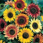 Helianthus annuus – Sunflower – Autumn Beauty Bulk Seed – 1 pound