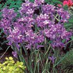 Sky Blue Lilies – 25 bulbs