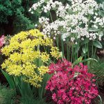 Mixed Rock Garden Allium – 5 bulbs