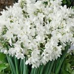 Ziva Paperwhites – 10 bulbs