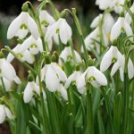 Early Snowdrops Galanthus – 10 bulbs