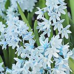 Striped Squill – 25 bulbs