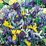 Mixed Dwarf Iris – 10 bulbs