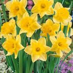 Carlton Large Cup Daffodil – 10 bulbs