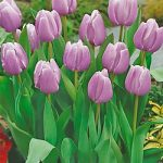 Dreaming Maid Triumph Tulip – 10 bulbs