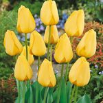 Golden Parade Darwin Hybrid Tulip – 10 bulbs