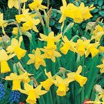Tete a Tete cyclamineus Daffodil – 10 bulbs