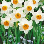 Barret Browning Small Cup Daffodil – 10 bulbs