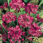 Ostrowskianum Allium – 5 bulbs