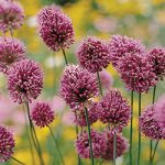 Drumstick Allium – 5 bulbs