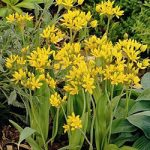 Moly Allium – 5 bulbs