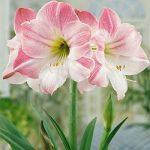 Apple Blossom Amaryllis – 1 bulb