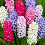 Mixed Hyacinth – 10 bulbs