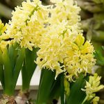 City of Harlem Hyacinth – 10 bulbs