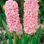 Anne Marie Hyacinth – 10 bulbs