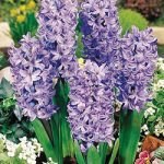 Delft Blue Hyacinth – 10 bulbs