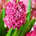 Jan Bos Hyacinth – 10 bulbs