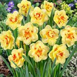 Tahiti Double Daffodil – 10 bulbs